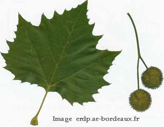 feuille-fruit-platane